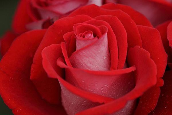 mujer y rosa roja - photo #30