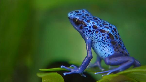 369517164-rana-venenosa-de-dardo-venenoso-zoologico-azul