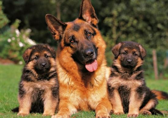 perro guardian (4)