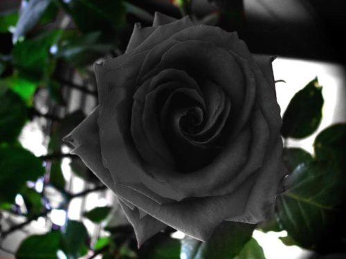 rosa_negra_2