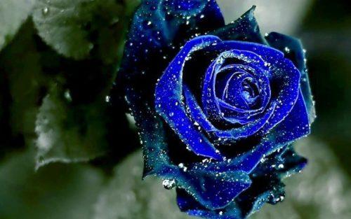significado-rosas-azules-600x375