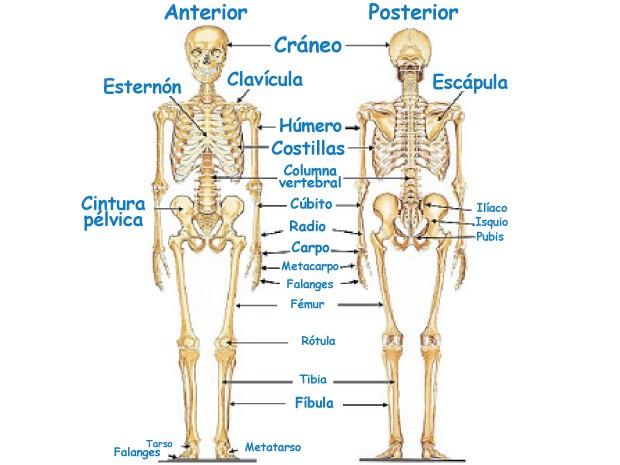 Imágenes Del Cuerpo Humano: Partes, Organos, Huesos