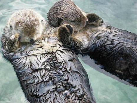 animalesLas nutrias marinas se cogen de las manos mientras duermen por si se las lleva la corriente, para despertar juntas.