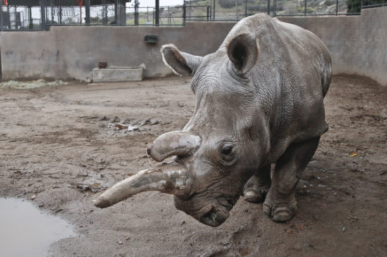 In this Dec. 31, 2014 photo, Nola,  a 40-year-old northern white rhino who is only one of five remaining of the species, wanders around her enclosure at the San Diego Zoo Safari Park on a cold winter day in Escondido, Calf. The survival of the northern white rhinoceros and dozens of other species could hinge on the Frozen Zoo, whose collection amassed over nearly 40 years has become the largest gene bank of its kind. (AP Photo/Lenny Ignelzi)