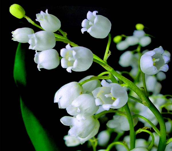 barb-s-lily-of-the-valley