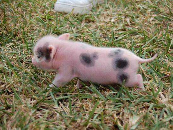cerditos bebes bonitos  (3)