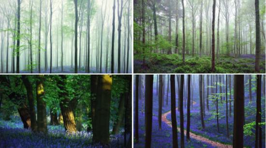 Bosque azul de Halle Belgica (1)