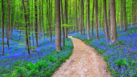 Bosque azul de Halle Belgica (10)