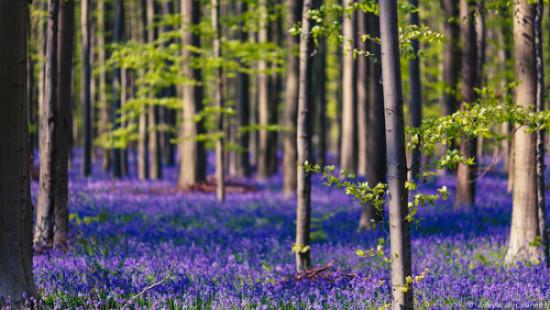 Bosque azul de Halle Belgica (3)