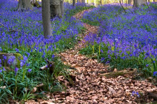 Bosque azul de Halle Belgica (4)