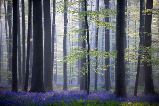 Bosque azul de Halle Belgica (5)