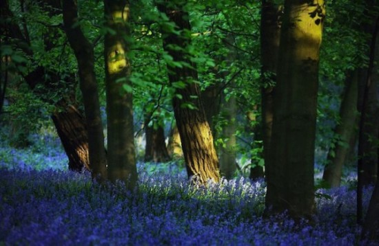 Bosque azul de Halle Belgica (6)