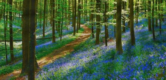 Bosque azul de Halle Belgica (7)