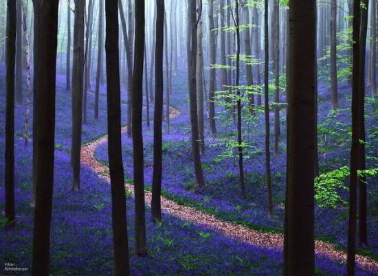 Bosque azul de Halle Belgica (8)