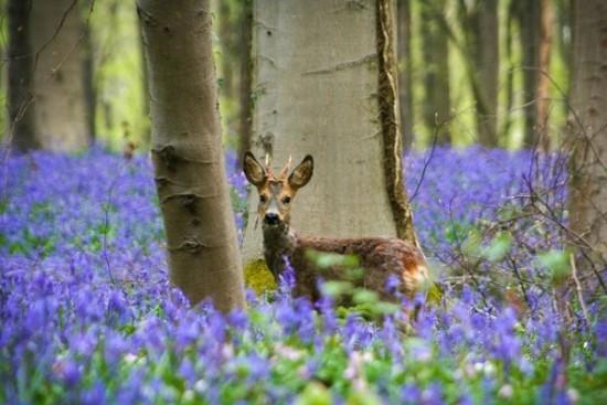 Bosque azul de Halle Belgica (9)