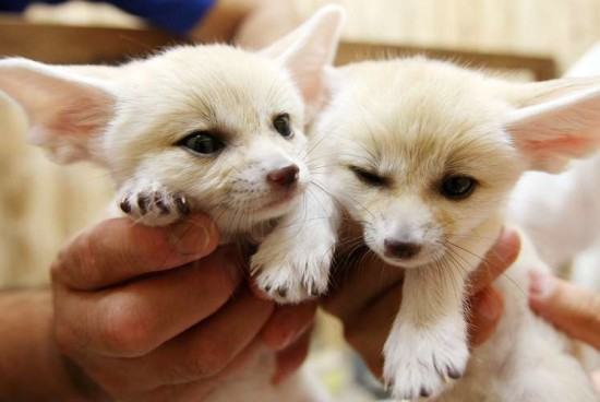 Fennec babies are seen at Sunshine International Aquarium on June 24, 2009 in Tokyo, Japan. The fennecs were born on May 17.