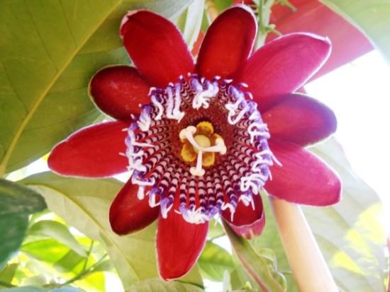 passiflora 1