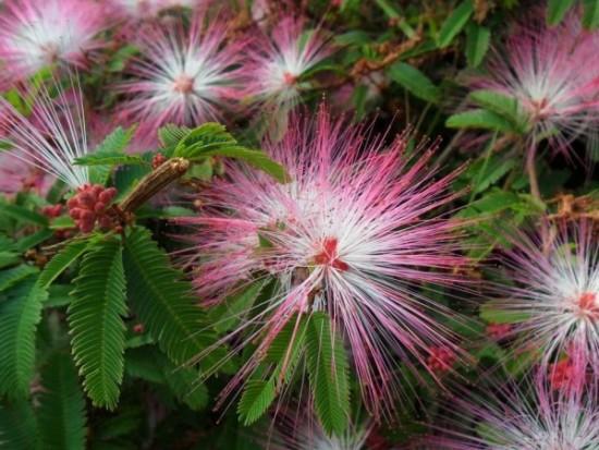 plumerillo-rosado-arbusto-floral-nativo