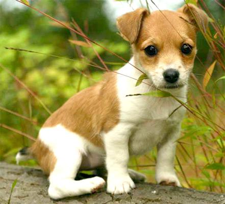 fotos-de-perros-de-raza-jack-russell-01z
