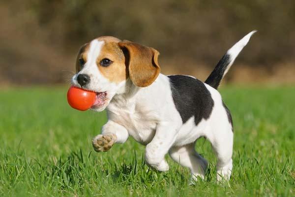 perro-jugando
