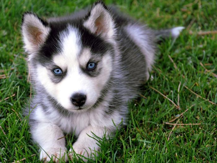 perro-siberiano