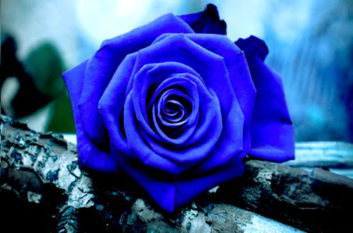 rosas-azules-4