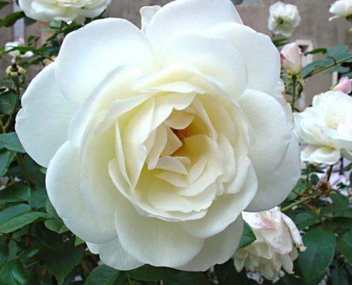 img_cual_es_el_significado_de_las_rosas_blancas_26181_orig