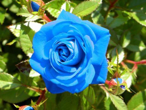 rosas-azules-4-1