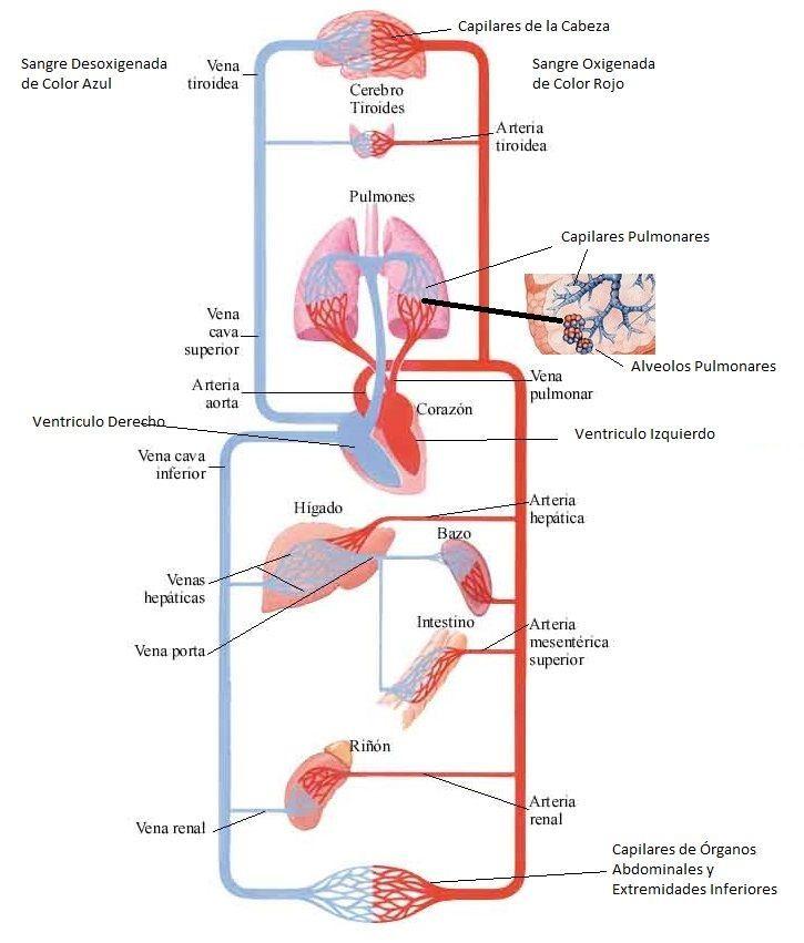 Asombroso órganos Del Cuerpo Humano Diagrama Rotulado Colección de ...
