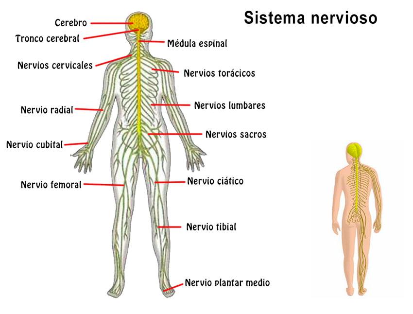 Imágenes del Cuerpo Humano: Partes, Organos, Huesos, Músculos y ...