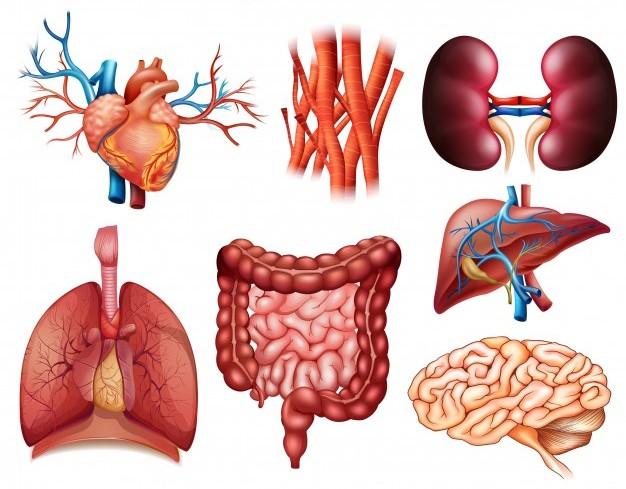 Principales organos del cuerpo humano para niños