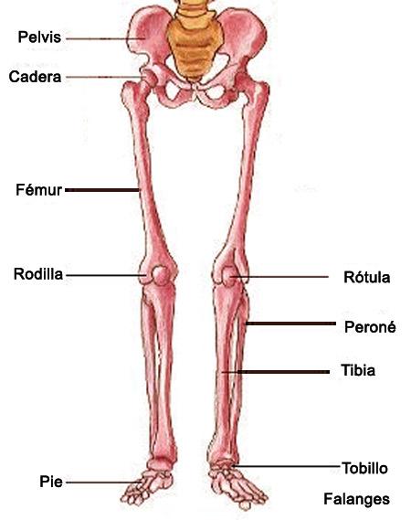 parte del cuerpo humano la pelvis