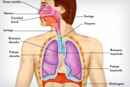 Sistema Respiratorio: Aparato Respiratorio (partes