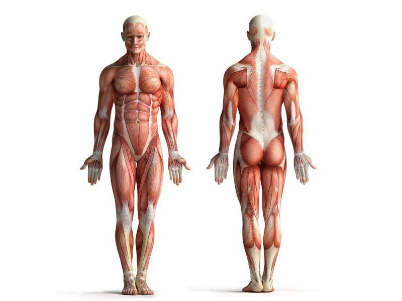 Músculos del Cuerpo Humano – Funciones, Características, Tipos ...