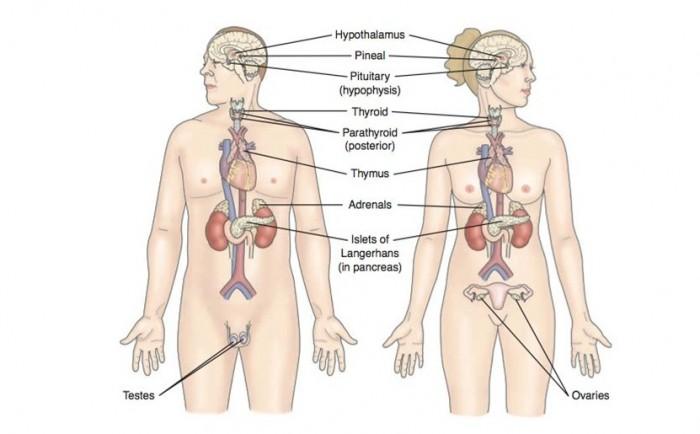 Sistema Endocrino: funciones y partes | Información imágenes